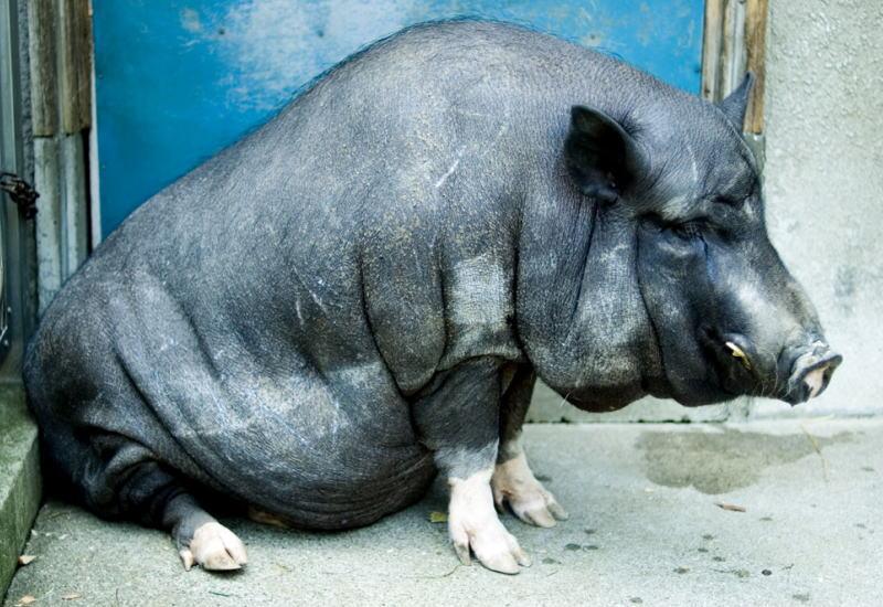 日本でこの豚を忘れてはいけない