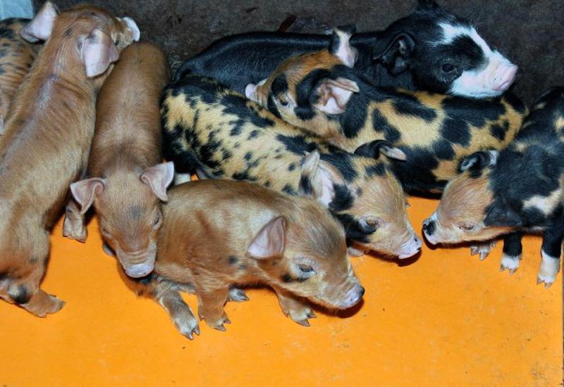 最先端の豚肉、系統豚・四元豚・ハイブリット豚とはどんな豚か。