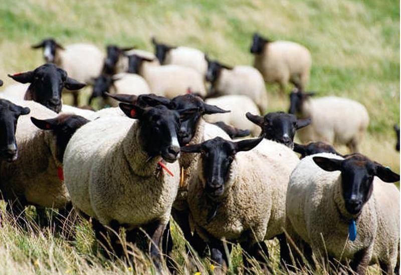 ジンギスカン、日本の羊肉料理の代表です