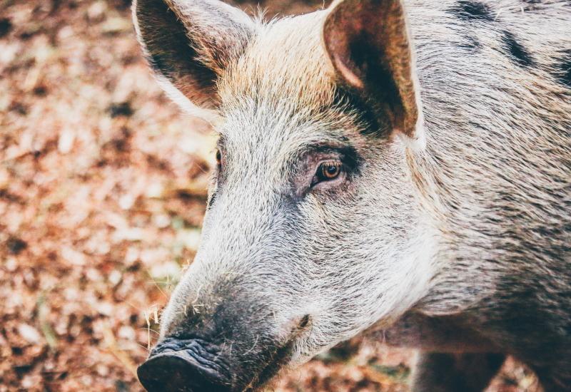 イノシシ肉・イノシシ料理について