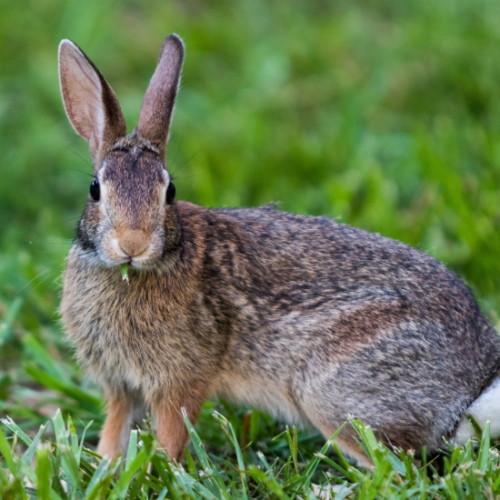 ウサギ肉・ウサギ料理について