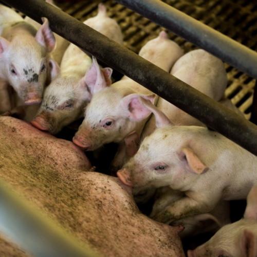おいしい豚肉をつくる(飼料)