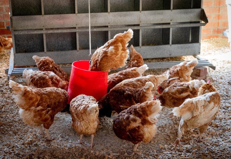 おいしい鶏肉をつくる(飼料)